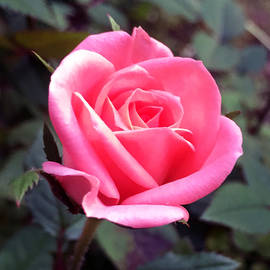 James Pinkerton - Miniature Pink Rose