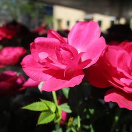 Rosita Larsson - Miniature rose