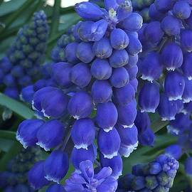 Nona Kumah - Miniture Grape Hyacinths