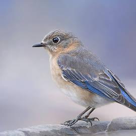 Bonnie Barry - Misty Morning Bluebird