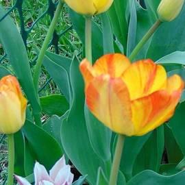 Charlotte Gray - Mixed Tulips