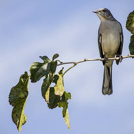 Phil Mancuso - Mockingbird
