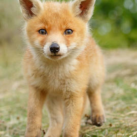 Roeselien Raimond - Moi...? _Fox cub