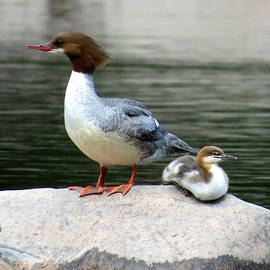 Norman Vedder - Mom and Chick