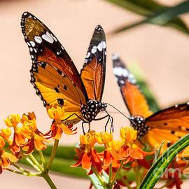 Arik Baltinester - Monarch butterfly