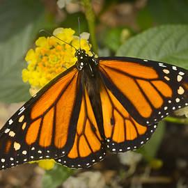 F Leblanc - Monarch Butterfly