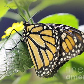 Dora Sofia Caputo Photographic Art and Design - Monarch Butterfly in Brown and Black