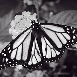 F Leblanc - Monarch Butterfly - Monochrome