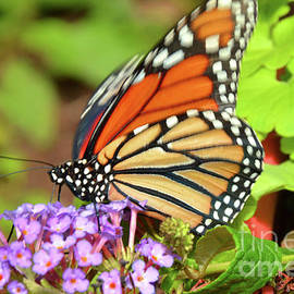 Robyn King - Monarch Butterfly Nature Art