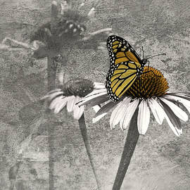 Diane Schuster - Monarch Butterfly On Coneflower Selective Color