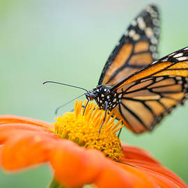 Oscar Gutierrez - Monarch Butterfly on Orange Zinnia