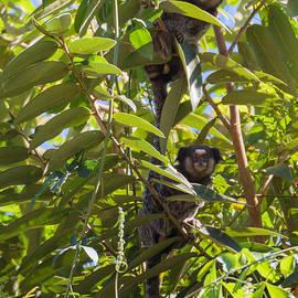 Daniel Precht - Monkeys on a tree in Brazil