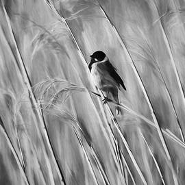 Leif Sohlman - Monochrome Common Reed Bunting