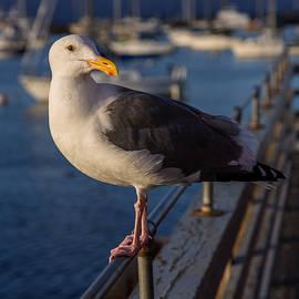 John Daly - Monterey Seagull