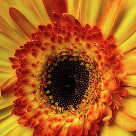 Moody Yellow Orange Gerbera - Garry Gay
