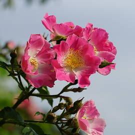 Carrie Goeringer - Morning Bloom