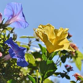 Morning Glory and Hibiscus V