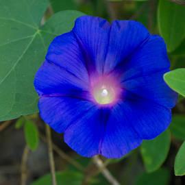 Larry Bishop - Morning Glory Purple