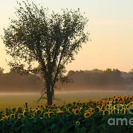 Catherine Sherman - Morning Sunflowers