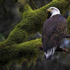 Mohammed Gammal - Moss Eagle