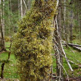 Jouko Lehto - Moss over birches trunk