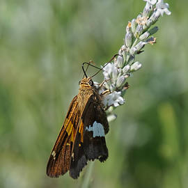 Alan Hutchins - Silver-spotted skipper butterfly on Lavender Plant