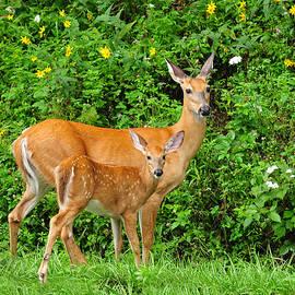 Lara Ellis - Mother And Baby  White-tailed  Deer