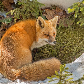 Steve Dunsford - Mother Fox on Alert