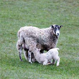 mother sheep and lamb - Joana Kruse