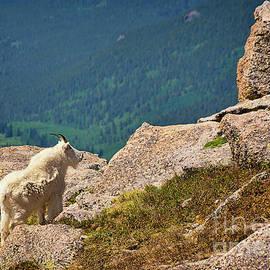 Priscilla Burgers - Mount Evans Mountain Goat