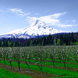 Mount Hood Behind orchard blossoms