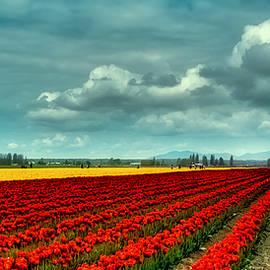 David Patterson - Mount Vernon Tulip Fields