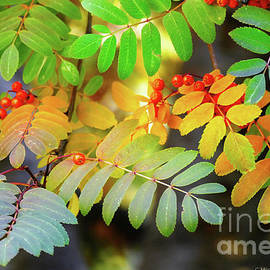 Michele Penner - Mountain Ash Fall Color