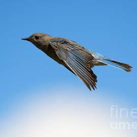 Mike Dawson - Mountain Bluebird Glide