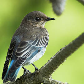 Jestephotography Ltd - Mountain bluebird In pine