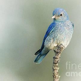 Sharon Ely - Mountain Bluebird