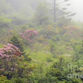 Thomas R Fletcher - Mountain Laurel in Mist