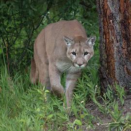 Teresa Wilson - Mountain Lion Stalking