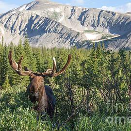 Chris Scroggins - Mountain Moose
