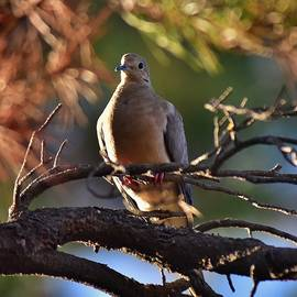 Linda Brody - Mourning Dove in Late Afternoon Shadow 1