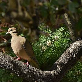 Linda Brody - Mourning Dove in Late Afternoon Shadow 2