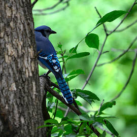 Deb Halloran - Mr. Blue Jay