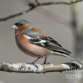 Torbjorn Swenelius - Mr Chaffinch