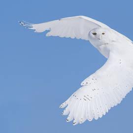 Mircea Costina Photography - Mr Snowy Owl