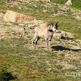 Louise Magno - MT Big Horn Sheep