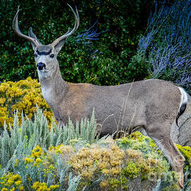 rdm-Margaux Dreamations - Mule Deer Buck