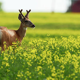 Jestephotography Ltd - Mule Deer in Canola