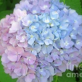 Kay Novy - Multicolored Hydrangea