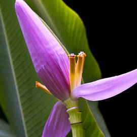 Sharon Mau - Musa ornata Ornamental Banana Flower