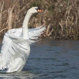 Prashant Meswani - Mute Swan